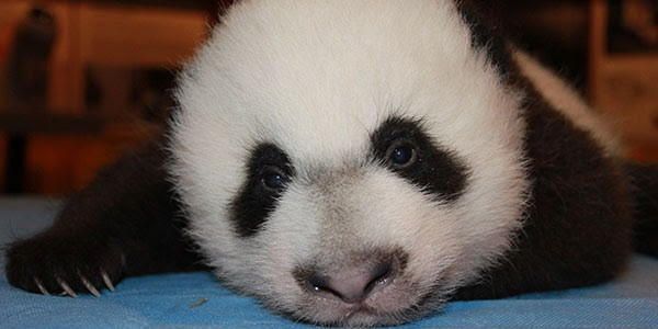 Bei Bei, photo courtesy of National Zoo