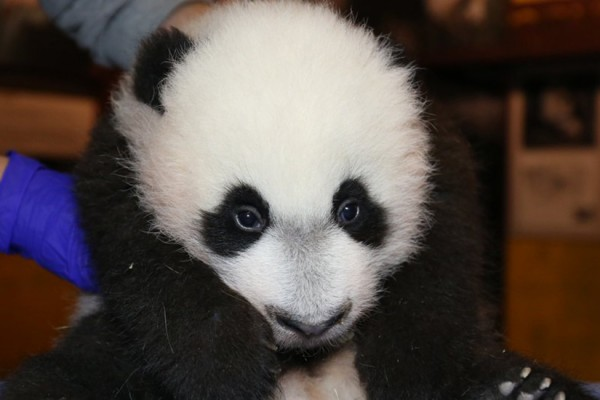 Bei Bei, photo courtesy of the National Zoo
