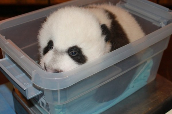 Bei Bei, photo via National Zoo