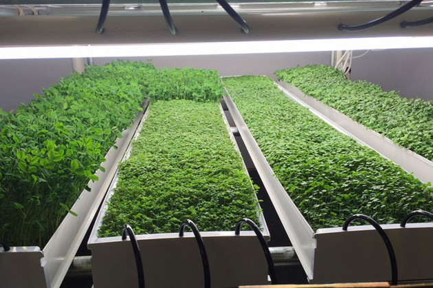 Microgreens typically take eight to fourteen days to grow