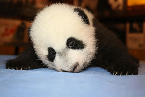 Bei Bei (Photo via National Zoo)