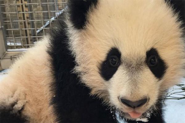 Giant panda cub Bei Bei in the snow (Photo via Instagram/Smithsonian's National Zoo)