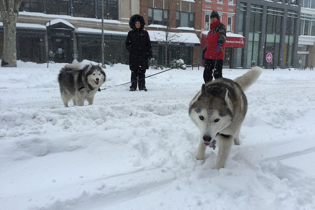 Everest and Tundra play in the snow on 14th Street NW