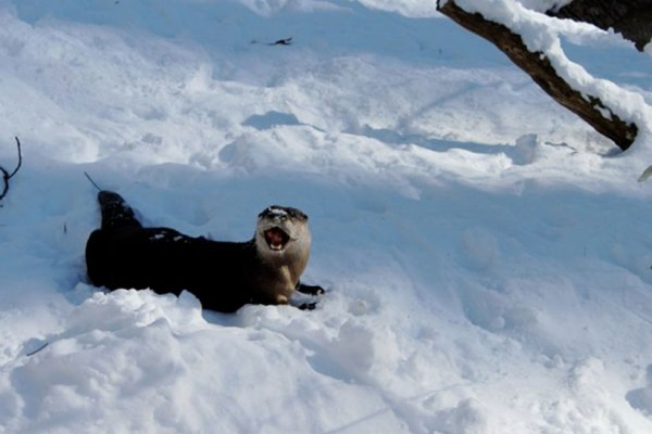 North American river otter in the snow at the National Zoo (Photo via Twitter/National Zoo)