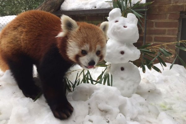 A red panda at the National Zoo checks out the snow (Photo via Twitter/National Zoo)