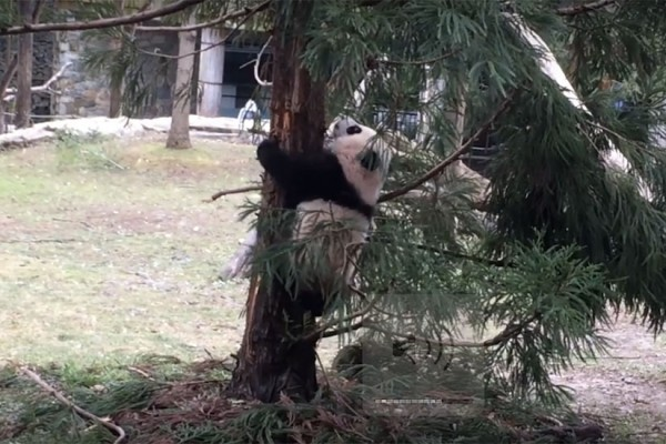 Bei Bei climbs a tree at the National Zoo (Photo via YouTube/Smithsonian's National Zoo)