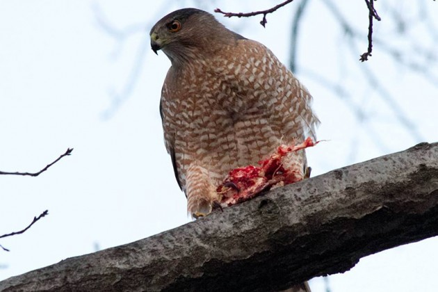 This hawk was spotted at 15th and Corcoran streets NW yesterday / Photos by Luis Gomez