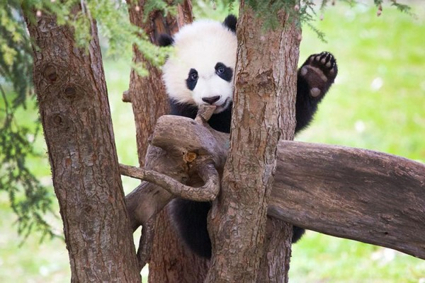 Giant panda cub Bei Bei (Photo via Facebook/Smithsonian's National Zoo and Conservation Biology Institute)