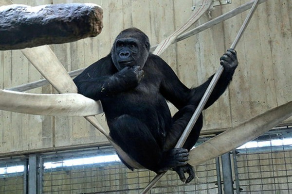 Gorilla at the National Zoo (Photo via Smithsonian's National Zoo)