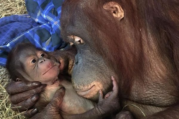 Bornean orangutan Batang and her new baby (Photo via National Zoo)